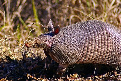 Texas Armadillo, Animal, Mammal, Armor, Wildlife