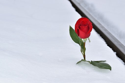 Red Rose In Snow, Winter, Railway, Lost Love