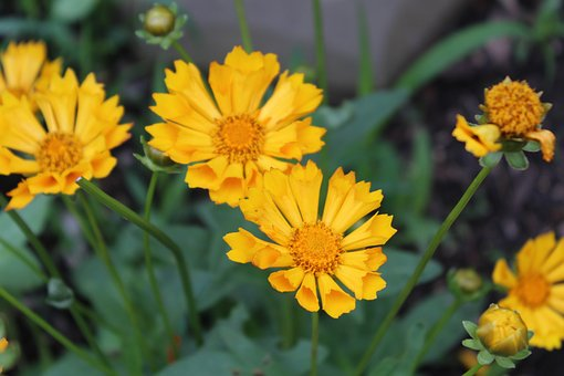 Yellow Flowers, Flowers, Petals, Floral, Nature