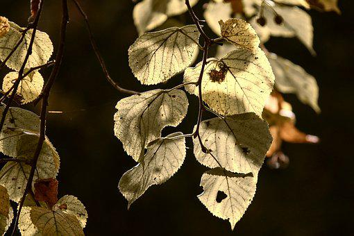 Leaves, Fall Foliage, Baldwin, Pale, Backlighting