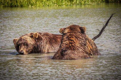 America, Alaska, Bear, Swim, Lake, Bank, Branch