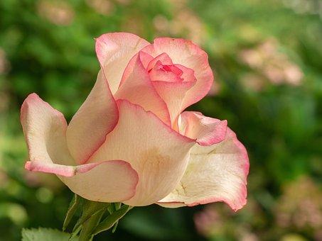 Flower, Rose, Rose Bloom, Pink, Beauty