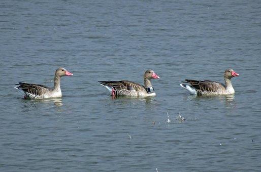 Bird, Goose, Greylag Goose, Radiocollared