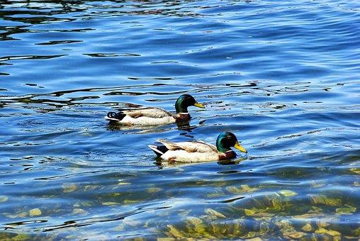 Mallards On Lake Mendota, Ducks, Mallard, Duck, Bird