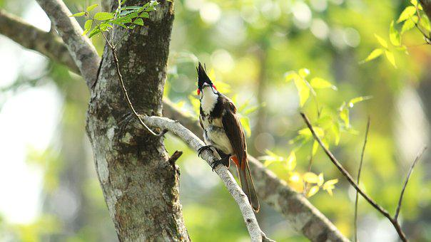 Bird, Avian, Kerala, India, Red Whiskered Bulbul