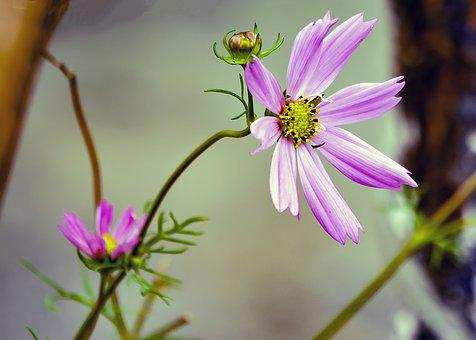 Cosmos, Flower, Pink, Bloom, Cosmea, Nature, Plant