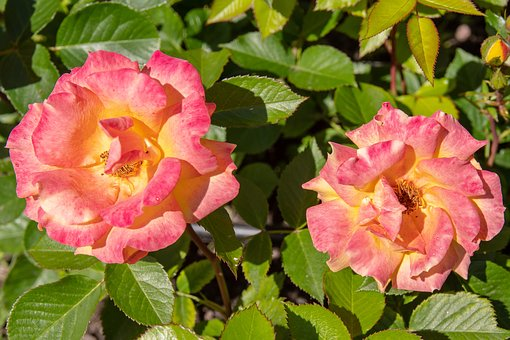 Rose, Pink, Flower, The Romantic, Plant, Bloom, Garden