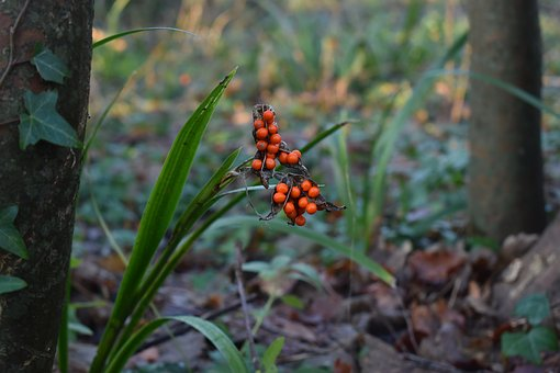 Berries, Woodland, Berry, Nature, Plant, Botany, Woods