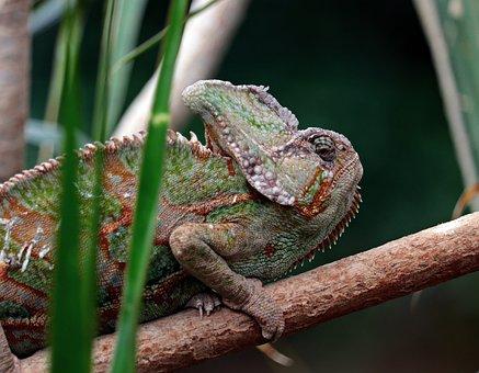Chameleon, Iguana-like, Schuppenkriechtier, Camouflage