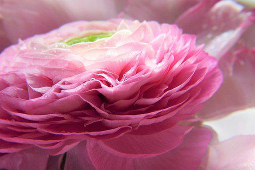 Ranunculus, Pink, Flower, Blossom, Bloom, Close Up