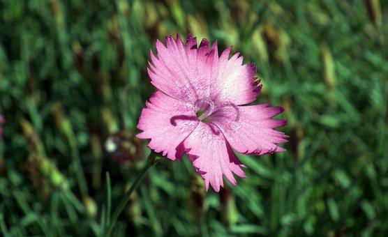Gożdzik, Pink, Flower, Nature, Closeup, Blooming