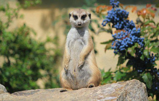 Meerkat, Portrait, Animal, Zoo, Curious, Sit, Guard