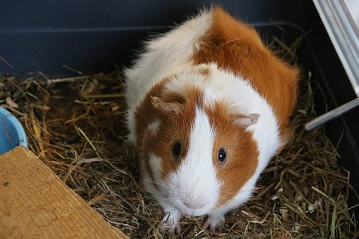 Cavy, Animal, Domestic Animal, Rodents, Cute, Nature
