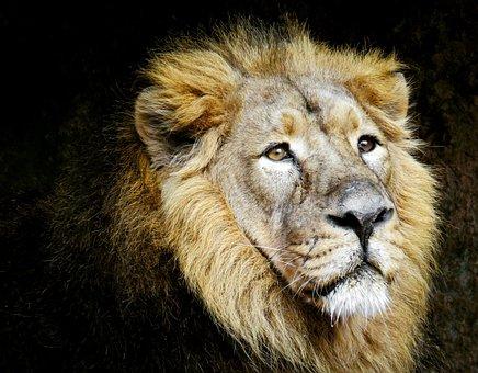 Animals, Lion, Predator, Big Cat, Dangerous, Carnivores