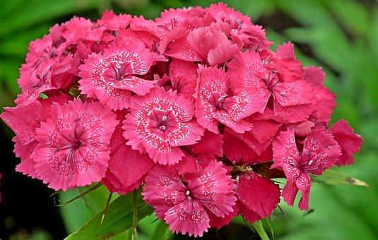 Gożdziki Stone, Flowers, Garden, Pink, Nature, Closeup