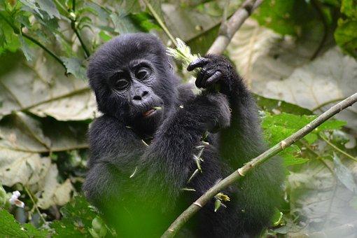 Gorilla, Baby Gorilla, Monkey, Bwindi, Uganda