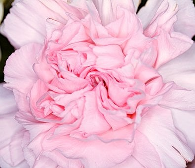 Carnation, Dianthus, Flower, Pink, Herbaceous Perennial