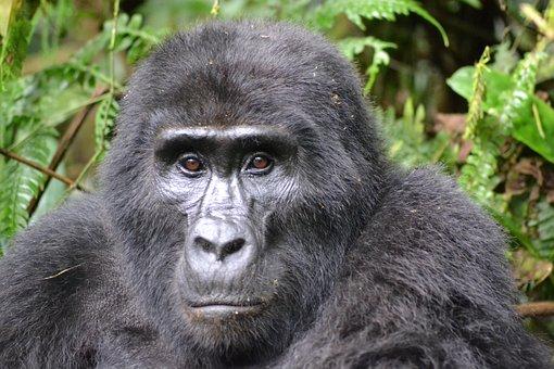 Gorilla, Mountain Gorilla, Bwindi, Uganda, Rainforest