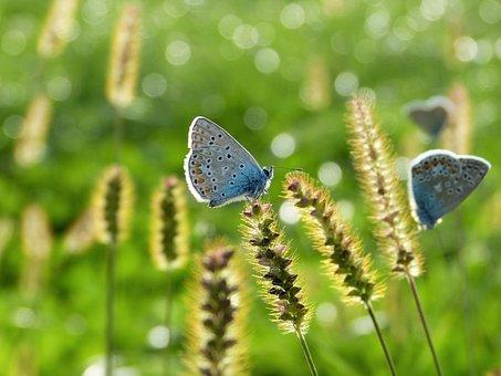 Butterfly, Hauhechel, Common Blue, Nature, Summer