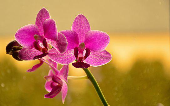 Orchid, Butterfly Orchid, Phalaenopsis, Blossom, Bloom