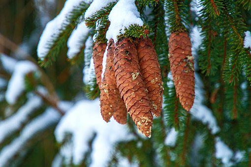 Winter, Pine Cones, Tree, Snow, Holly, Nature, Cold
