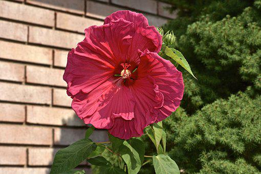 Hibiscus, Pink, Red, Flower, Plant, Bloom, Garden