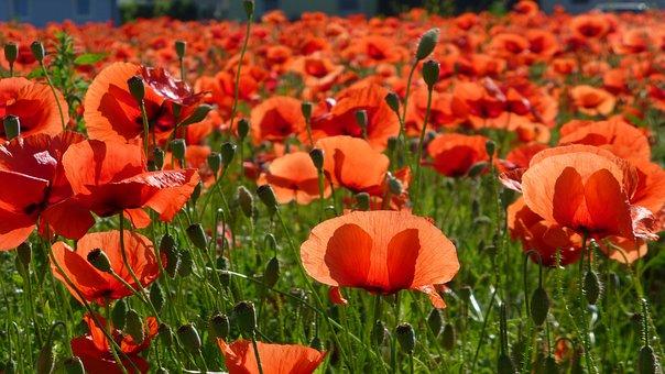 Poppy Flower, Field Of Poppies, Poppy, Klatschmohn, Red