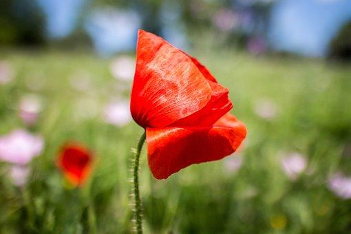 Poppy, Nature, Flower, Red, Plant, Flowers, Field