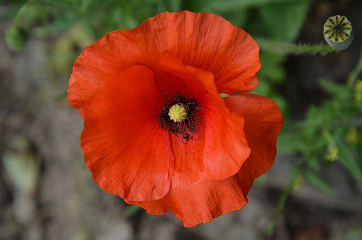 Poppy, Red, Blossom, Bloom, Flora, Nature, Garden