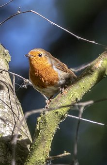 Robin, Redbreast, Wing, Eye, Feather, Branch, Bird