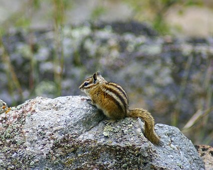 Wyoming Chipmunk At Devils Tower, Animal, Rodent
