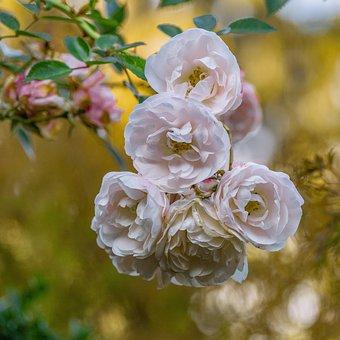 Flowers, Roses, Bush, Romantic, Rose Bloom