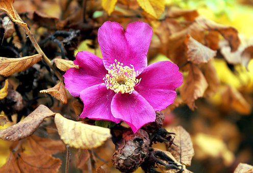 Rose Hip, Autumn, Nature, Roses, Flora, Garden