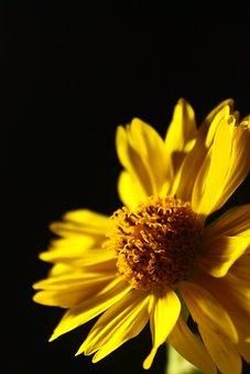 Yellow Rose, Flower, Nature, Rose, Yellow, Life