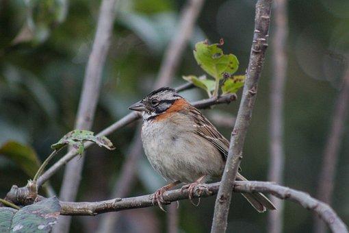 Zonotrichia, Capensis, Scullion, Sparrow, Bird