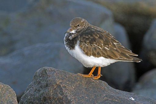 Stone Waltz, Arenaria Interpres, Beach Birds