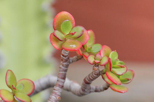 Succulent, Red Green, Cactus, Leaves, Plant