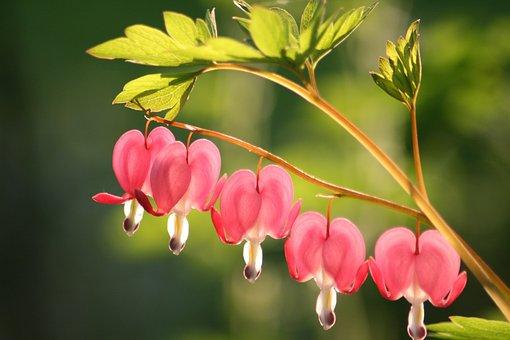Bleeding Heart, Flower, Blossom, Bloom, Garden, Summer