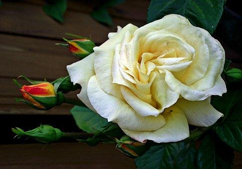 Rose, Flower, Tea, Beauty, Garden, The Smell Of, Summer