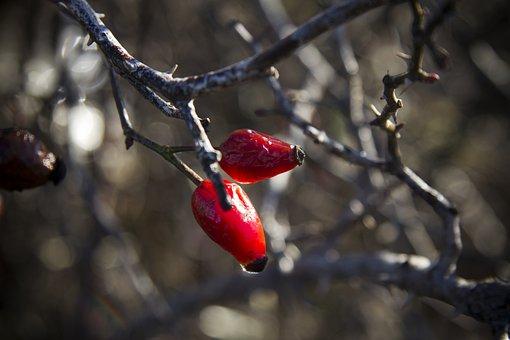 Berry, Ripe, Red, Vitamins, Rose Hip, Fresh, Nature