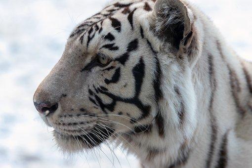 Tiger, White, White Tiger, Wildcat, Big Cat, Striped
