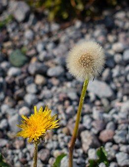 Dandelion, Wild Flowers, Rocks, Macro, Nature