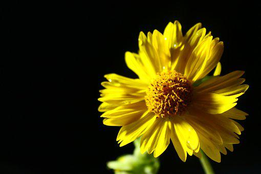 Yellow Rose, Flower, Nature, Rose, Yellow, Drops, Life