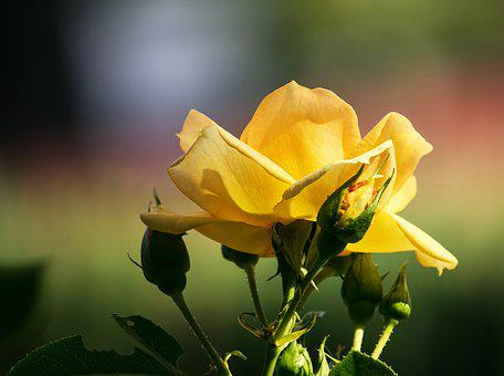 Rose, Blossom, Bloom, Yellow, Rose Bloom, Plant