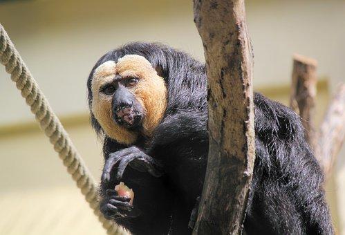 Monkey, Chvostan, Primate, Animal, Zoo