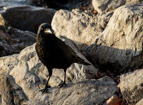 Common Raven, Raven, Crow, Black, Bird, Animal