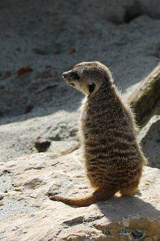 Meerkat, Zoo, Animal, Nature, Animal World