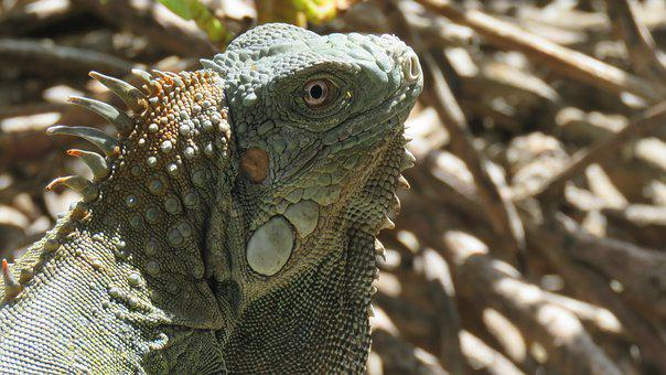 Iguana, Reptile, Animals, Exotic, Nature, Green, Scaly