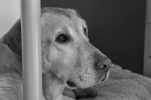 Dog, Labrador, Pet, Black And White, Retriever