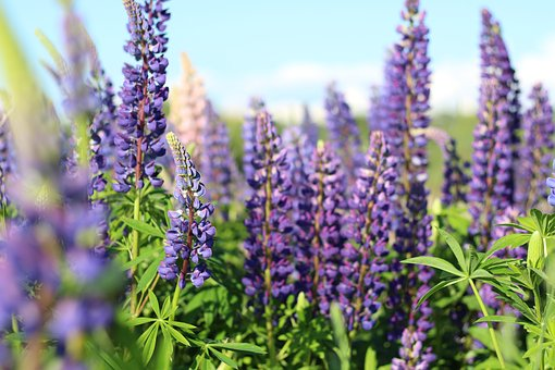 Lupins, Flowers, Lupine, Flower, Nature, Spring, Bloom